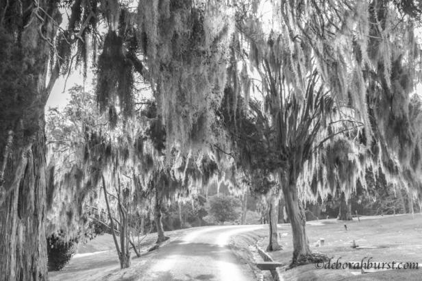 natchez-moss-trees-bw-dramatic